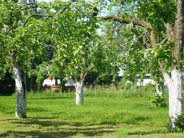 Drzewa owocowe najlepiej bielić aż powyżej pierwszych konarów. Wrozwidleniach też mogą się pojawić uszkodzenia mrozowe. Fot.Niepodlewam