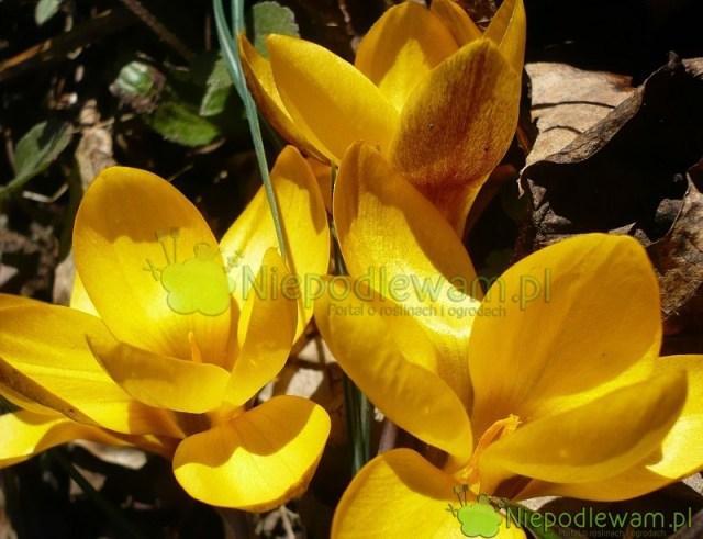 Systematyczne nawożenie krokusów wiosną sprawia, żemają duże kwiaty itworzą piękne, kolorowe łany. Fot Niepodlewam
