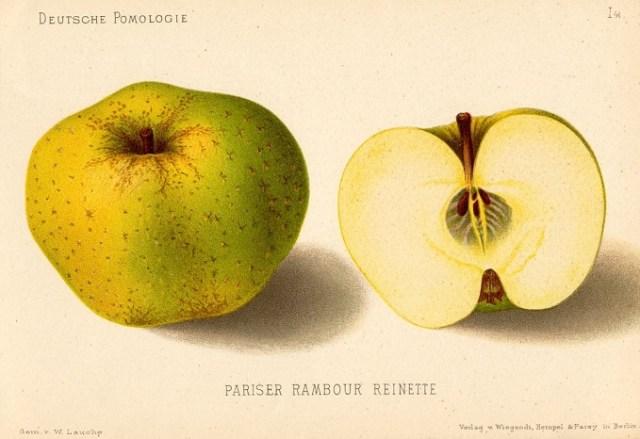 """Jabłoń Reneta Kanadyjska – rysunek zksiążki """"Deutsche Pomologie"""" Wilhelma Lauche z1882-1883, zezborów biblioteki Wageningen UR."""
