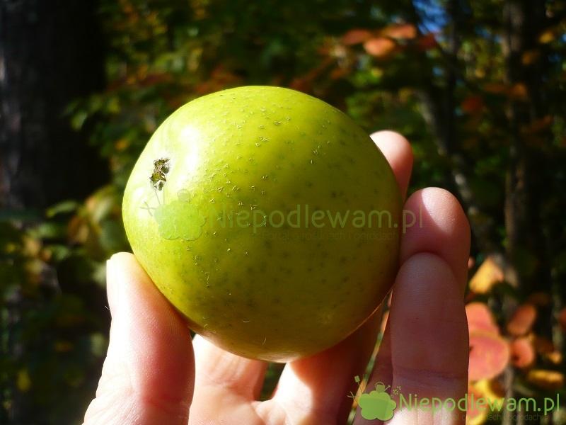 Ananas Rysunek jabłoń reneta ananasowa – uprawa, odporność, zapylacze