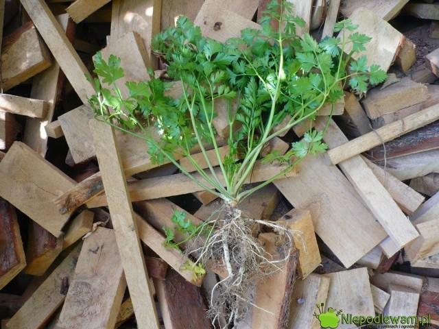 Rozwidlone korzenie pietruszki powstają zróżnych przyczyn. Czasami są takzniekształcone, żenienadają się dojedzeniu. Nazdjęciu jest odmiana Gigante d`Itala. Fot.Niepodlewam