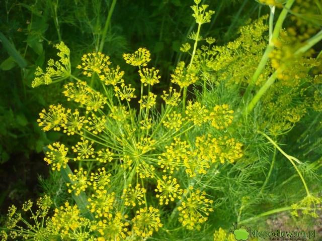 Siew kopru ogrodowego można wykonać wiosną, latem, jesienią inawet zimą (oile gleba niezamarznie). Byzawiązał kwiaty, potrzebne np.dokiszenia ogórków, trzeba go siać najlepiej wmaju. Fot.Niepodlewam