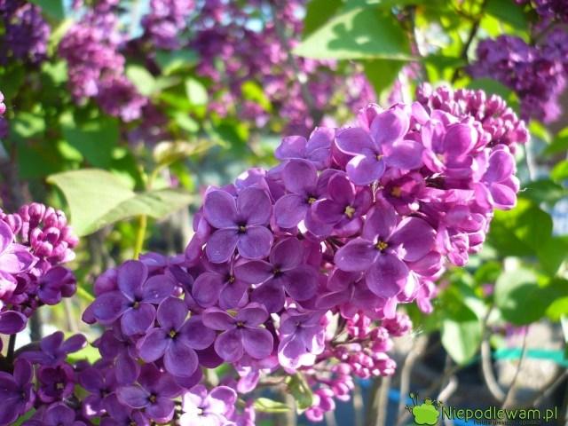 Lilak pospolity Andenken An Ludwig Spath ma kwiaty duże. Fot.Niepodlewam