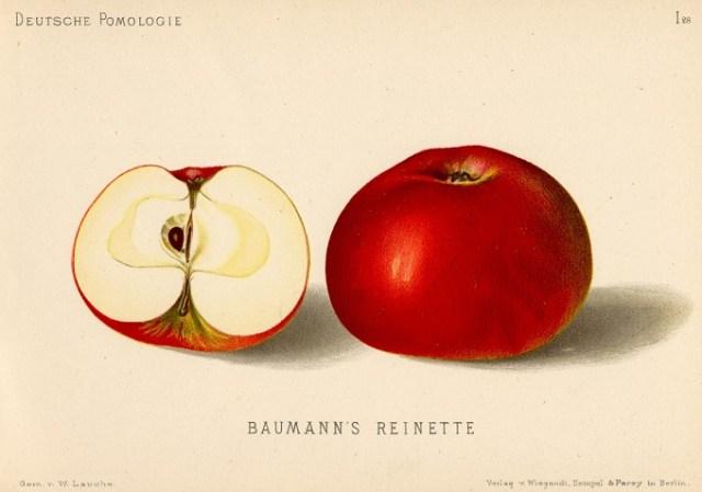 """Jabłoń Reneta Baumanna – rysunek zksiążki """"Deutsche Pomologie"""" Wilhelma Lauche z1882-1883, zezborów biblioteki Wageningen UR."""