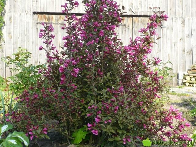 Krzewuszka cudowna jest obsypana kwiatami wmaju iczerwcu (V-VI). Powtarza kwitnienie podkoniec lata leczkwiatów jest mniej. Fot, Niepodlewam