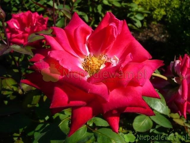 Róża Love wpełnym rozkwicie. Fot.Niepodlewam