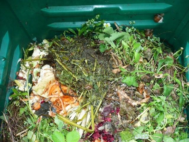 Resztki gnojówki zglistnika jaskółczego ziela wkompostowniku. Fot.Niepodlewam