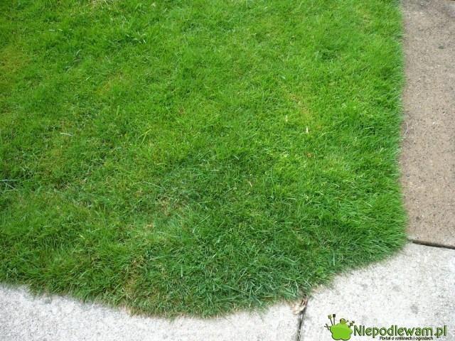 Aby mieć taki trawnik, potrzeba setek litrów wody orazsystematycznego nawożenia ikoszenia. Zamiast trawnika można sadzić inne rośliny, którychalbosię niewogóle niepodlewa, albobardzo rzadko. Fot.Niepodlewam