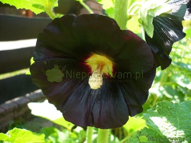 Malwa czarna Nigra ma kwiaty takciemne, jak nocne niebo. Jedynie wsłońcu czerń jest wdelikatnym odcieniu burgunda. Fot.Niepodlewam
