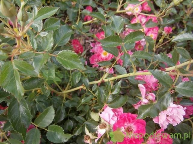 Kolce róży Matchpoint. Fot.Niepodlewam