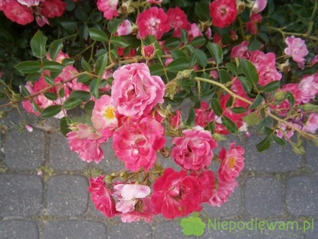 Róża Matchpoint  niepotrzebuje troskliwej opieki. Jest bardzo odporna namróz, choroby, miejskie zanieczyszczenia. Fot.Niepodlewam