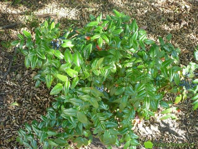 Mahonia pospolita ma liście podobne doostrokrzewu kolczastego. Krzewy są często mylone. Fot.Niepodlewam
