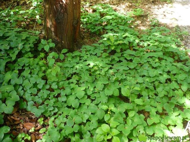 Przylaszczki pospolite można sadzić np.podwysokimi drzewami. Fot.Niepodlewam
