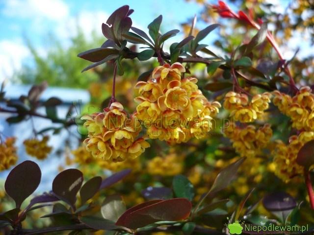 Wszystkie berberysy Thunberga kwitną wmaju. Wzależności ododmiany kwiatów jest mniej lub więcej. Fot.Niepodlewam