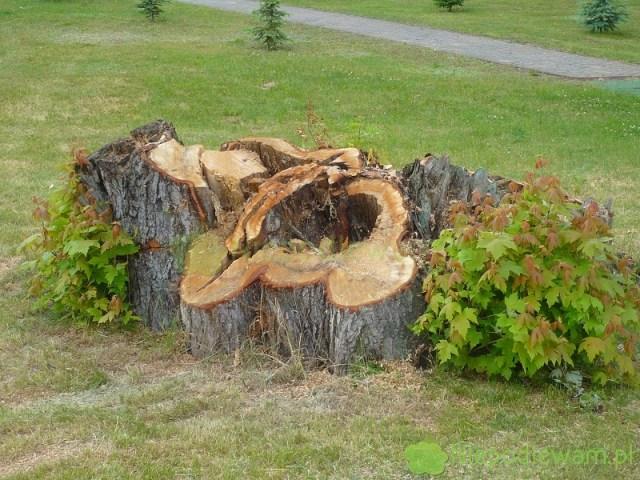 Po ścięciu drzewa, powstaje pytanie jak usunąć pieniek. Można tozrobić bezkarczowania. Fot.Niepodlewam