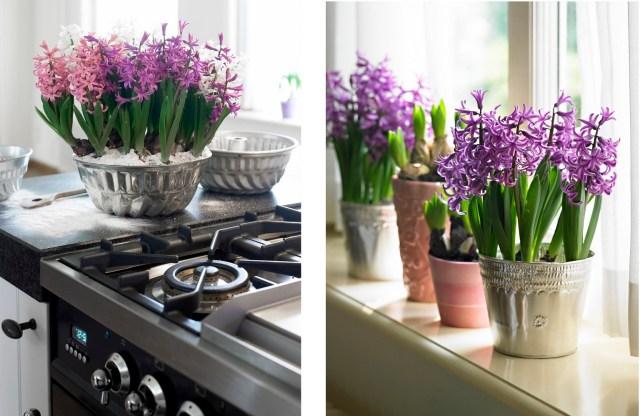 Zdjęcie lewe: hiacynty doniczkowe wformie dobabek, zdjęcie prawe: hiacynty wformie aluminiowej. Fot.Flower Council of Holland/thejoyofplants.co.uk