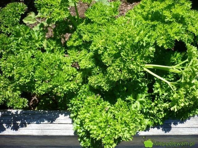 Pietruszka ma odmiany korzeniowe inaciowe. Naz zdjęciu: pietruszka naciowa Triple Curled. Fot.Niepodlewam