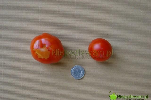 Pomidor Beta (większy) iMaskotka (mniejszy). Fot.Niepodlewam