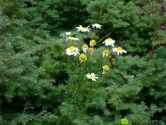 Rumianek pospolity bardzo dobrze rośnie wogrodach. Zwiększa odporność innych roślin. Najlepiej pozwolić, byrozsiewał się sam. Fot.Niepodlewam