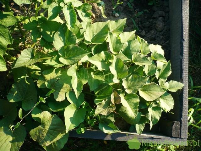Podwyższone grządki todobre miejsce douprawy m.in.warzyw wybitnie ciepłolubnych, np.bakłażanów. Fot.Niepodlewam