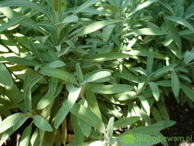 Szałwia lekarska Minimum ma długie, smukłe liście wkolorze zielonym. Fot.Niepodlewam