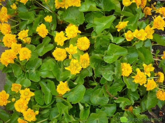 Kaczeniec Multiplex tojedna znajpiękniejszych odmian. Ma pełne kwiaty. Fot.Niepodlewam