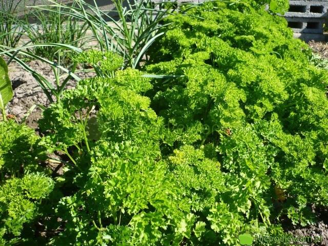 Pietruszka naciowa Moss Curled 2 ma kędzierzawe liście przypominające bujny mech. Fot.Niepodlewam