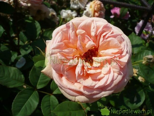 Róża Charles Austin tojedna znajpiękniejszych róż angielskich. Kwiaty są morelowe. Fot.Niepodlewam