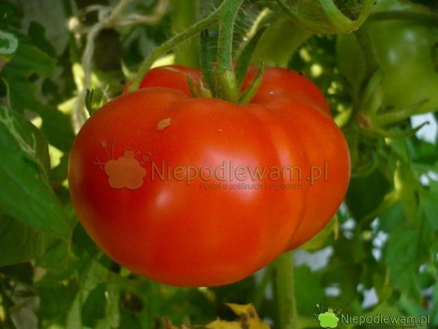 Pomidor Malinowy Olbrzym. Fot.Niepodlewam