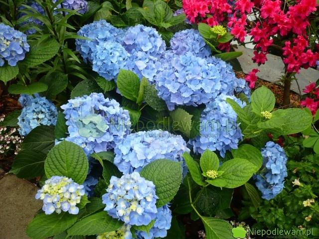 Gdy najmłodsze kwiaty niebieskich hortensji są blade, toznak, żesą zamało zasilane nawozami okwaśnym odczynie. Fot.Niepodlewam