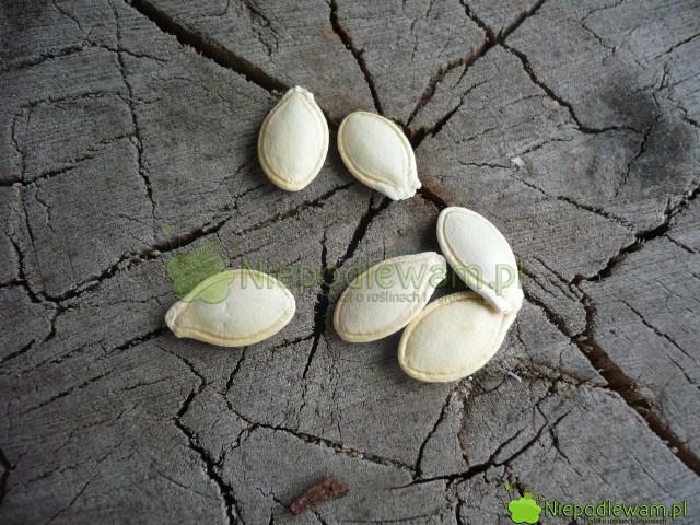 Nasiona dyni są duże. Łatwo je siać. Fot.Niepodlewam