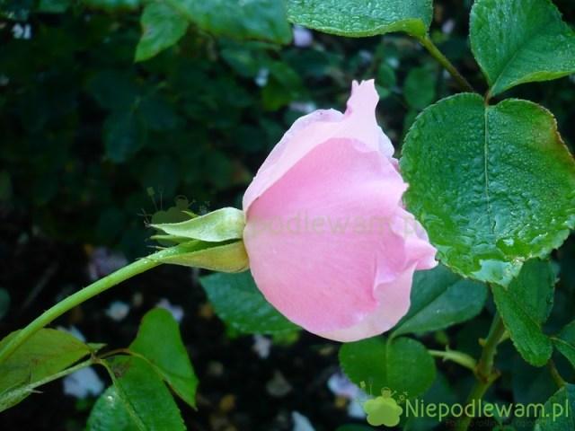 róża Dainty Bess