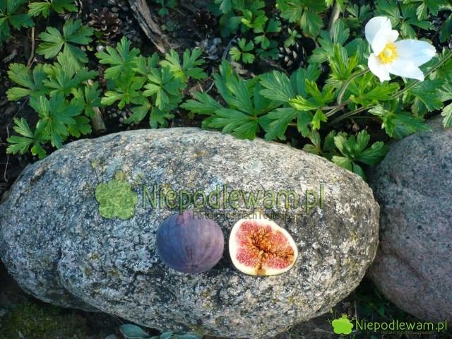 Figa jadalna owocuje wpolskim klimacie. Fot.Niepodlewam