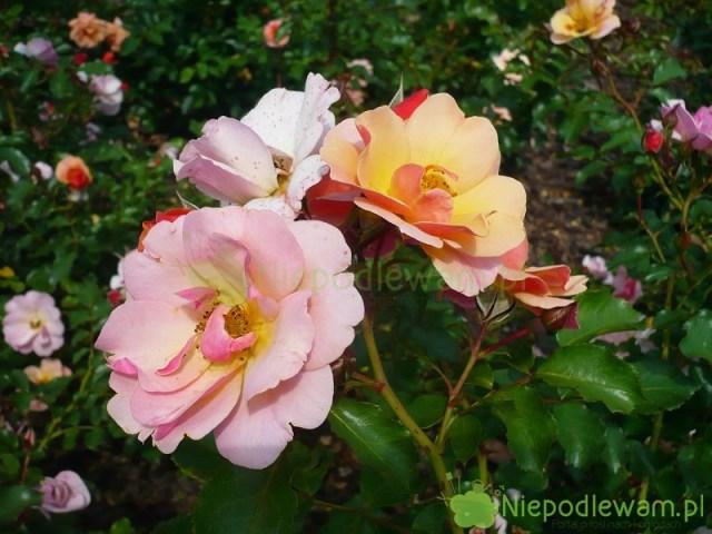 Świeżo rozkwitłe kwiaty róży Jazz mają inny kolor, niż starsze. Fot.Niepodlewam