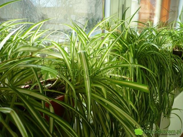 Zielistka tomało wymagająca roślina doniczkowa. Zwykle jest uprawiana naparapetach. Nadaje się doteż sadzenia wogrodzie inabalkonie. Fot.Niepodlewam