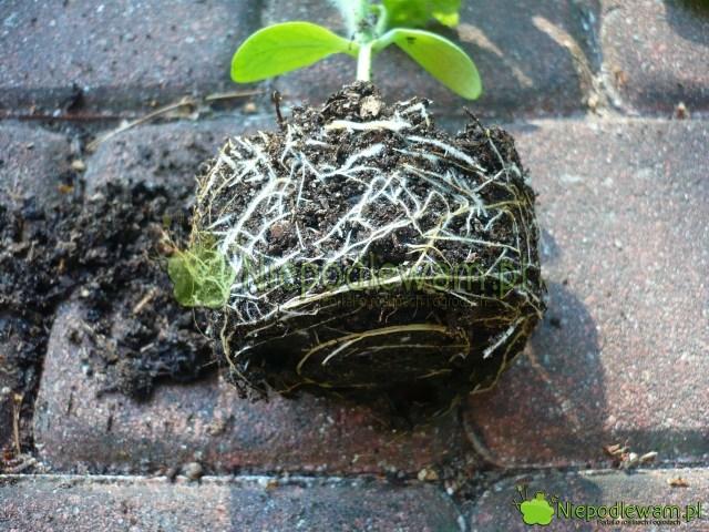 Rozsadę arbuza robi się wyłącznie wdoniczkach. Arbuz nielubi naruszania bryły korzeniowej podczas przesadzania. Fot.Niepodlewam