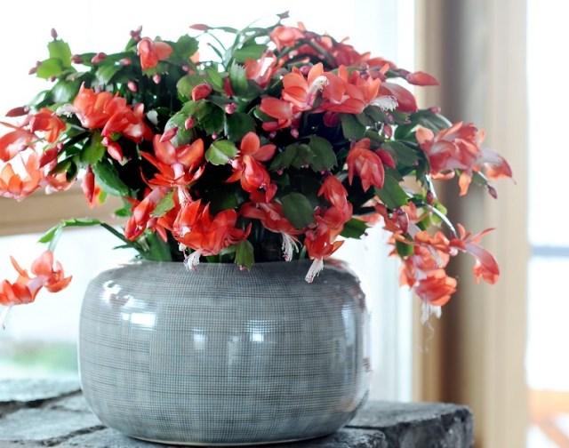 Kaktus bożonarodzeniowy jest znany podwieloma nazwami, m.in.grudnik, szlumbergera, zygokatus. Fot.Flower Council of Holland/thejoyofplants.co.uk