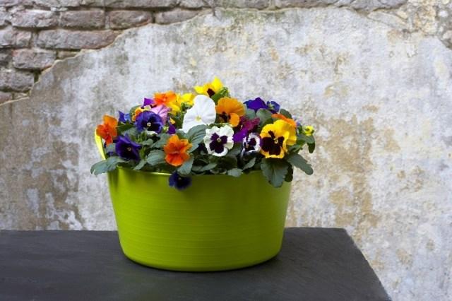 Bratki wkolorowej misce. Fot.Flower Council of Holland/thejoyofplants.co.uk