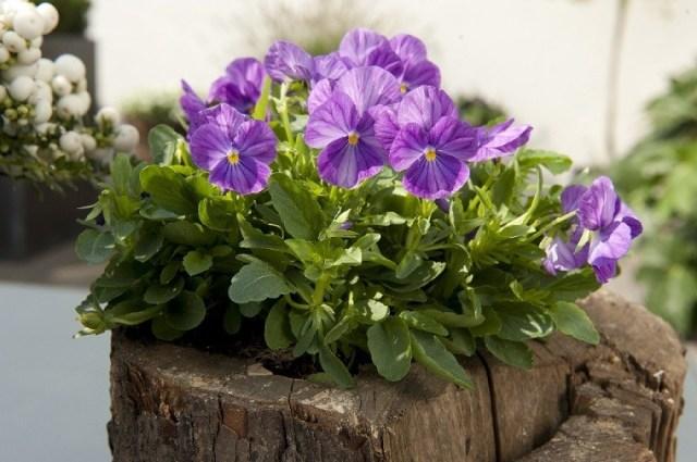 Bratki wpieńku. Fot.Flower Council of Holland/thejoyofplants.co.uk