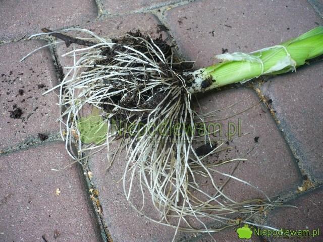 Starsze pory mają bardzo mocne korzenie. Fot.Niepodlewam
