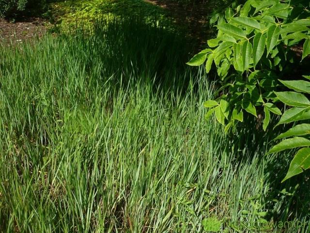 Trawa żubrówka niejest zbyt dekoracyjna. Uprawia się ją głównie jako dodatek doalkoholi idań. Słodko pachnie poususzeniu. Fot.Niepodlewam