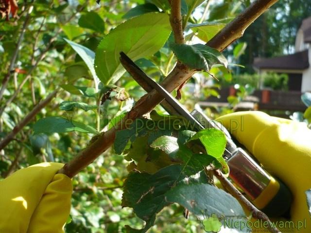 Koniec zimy ipozbiorach owoców - toterminy cięcia krzewów owocowych. Fot.Niepodlewam