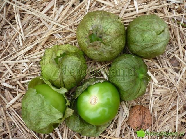 Miechunka pomidorowa ma owoce wyglądające jak zielone pomidory. Są jednak wosłonkach ilekko lepkie odwosku. Fot.Niepodlewaa