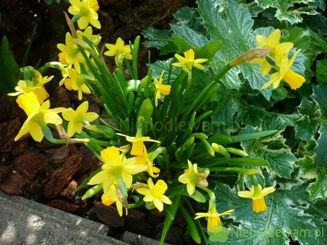 Narcyzy wspaniale kwitną wiosną. Kwitną wkolorach żółtym ibiałym. Są też odmiany dwubarwne. Nazdjęciu jest narcyz Tete-a-Tete. Fot.Niepodlewam