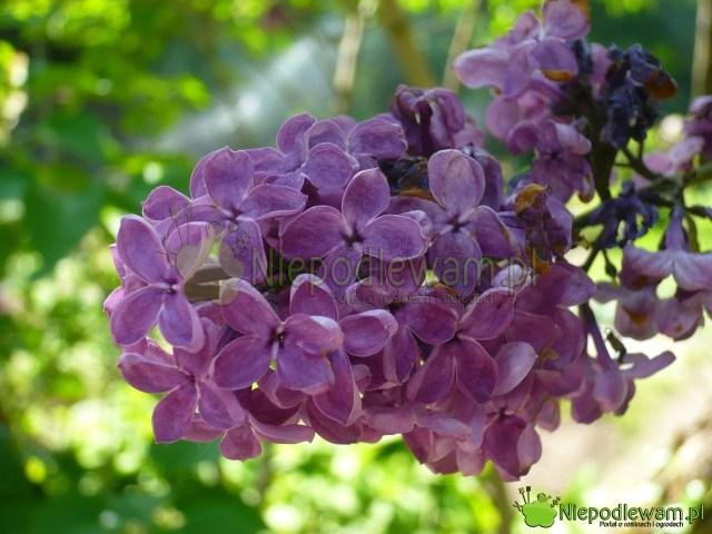 Lilak pospolity Negro toodmiana zXIX wieku. Fioletowe kwiaty pachną średnio mocno. Fot.Niepodlewam