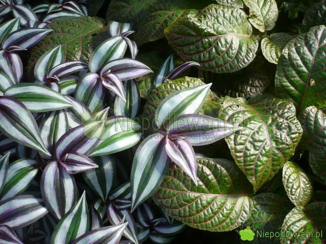 Trzykrotkę pasiastą można sadzić wkompozycjach zinnych roślinami, jak np.fitonia Verschaffelta. Fot.Niepodlewam