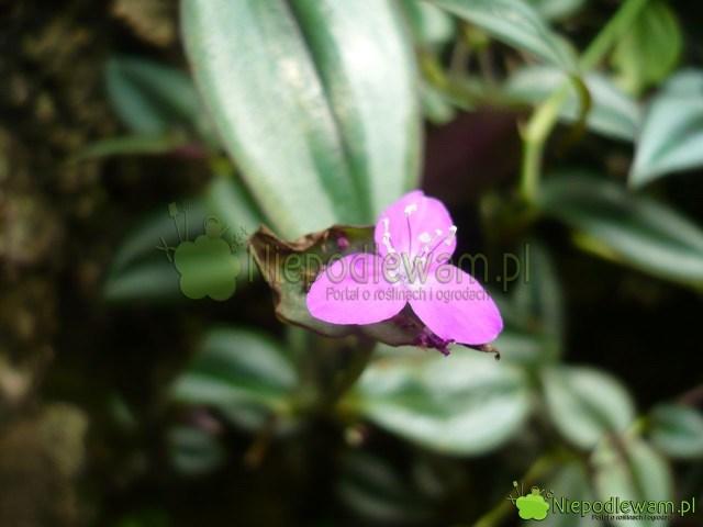 Kwiat trzykrotki pasiastej. Fot.Niepodlewam