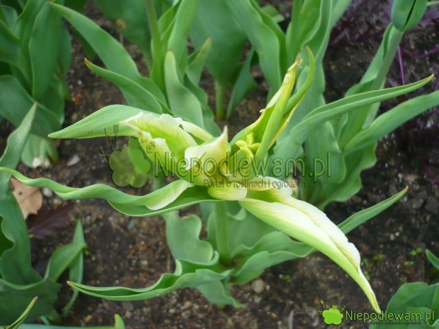 Zmutowany tulipan Green Star. Fot.Niepodlewam