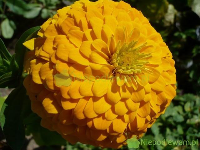 Cynia wytworna toelegantka wśród kwiatów. Kwiaty często są pełne, jak pompony. Fot.Niepodlewam
