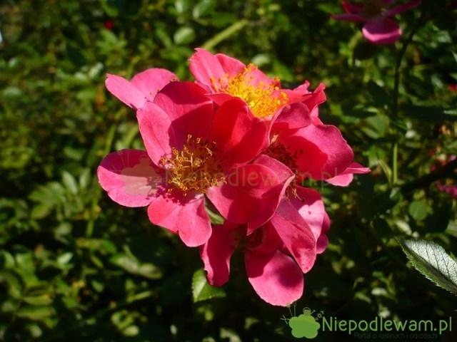 Róża Tommelise kwitnie bukietami. Świeżo rozkwitłe kwiaty mają bardziej żółte pręciki. Fot.Niepodlewam
